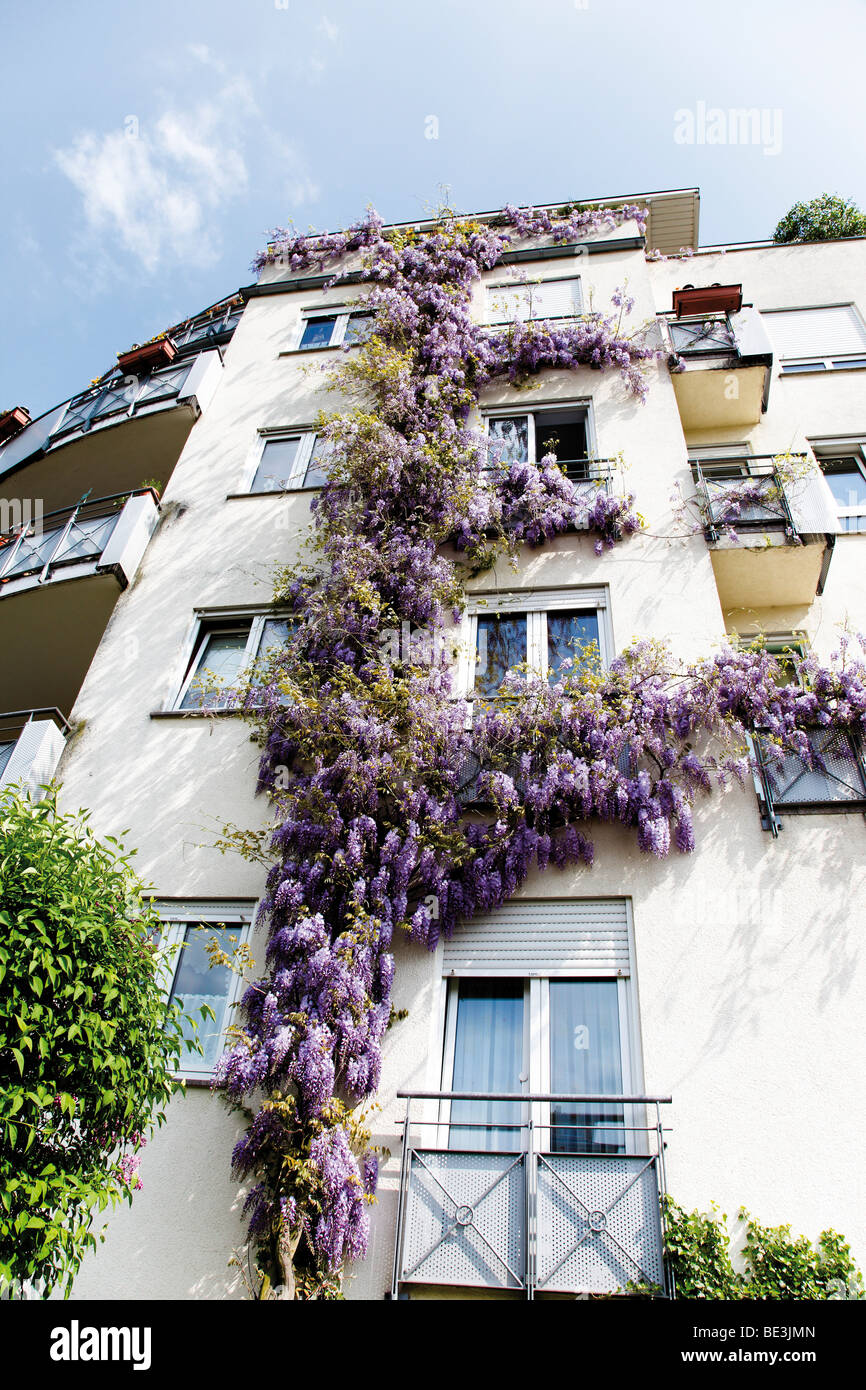Chinese Wisteria (Wisteria sinensins) twining a facade - Stock Image