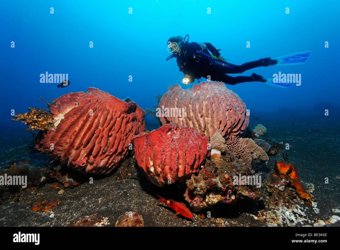 Diver looking at some magnificent Giant barrel sponges (Xestospongia testudinaria), Kuda, Bali, Indonesia, Pacific - Stock Image