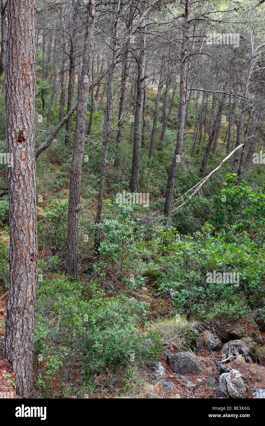 Aleppo pine forest, Pinus halepensis. Alicante, Spain - Stock Image