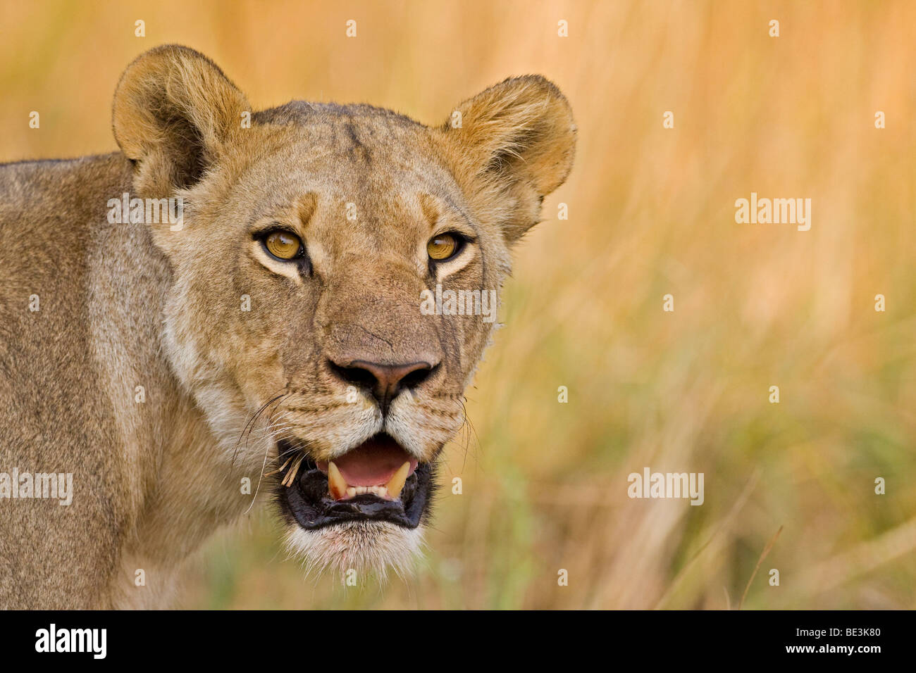 Lioness (Panthera leo), Moremi National Park, Okavango Delta, Botswana, Africa - Stock Image