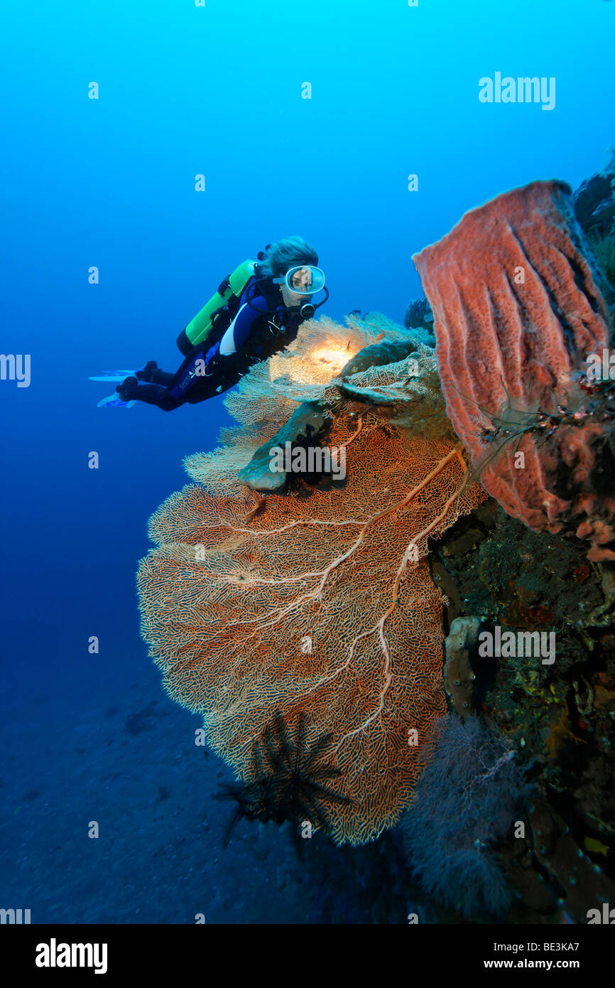 Diver looking at at reef formation with sea fan (Anella mollis) and sponge, coral, Kuda, Bali, Indonesia, Pacific Ocean Stock Photo