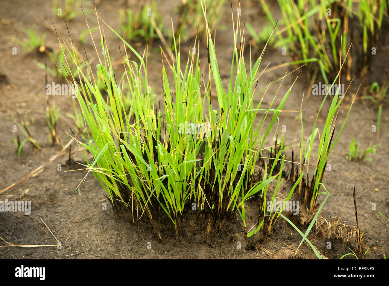 New grass shoots growing after a fire in Queen Elizabeth National Park in Uganda. - Stock Image