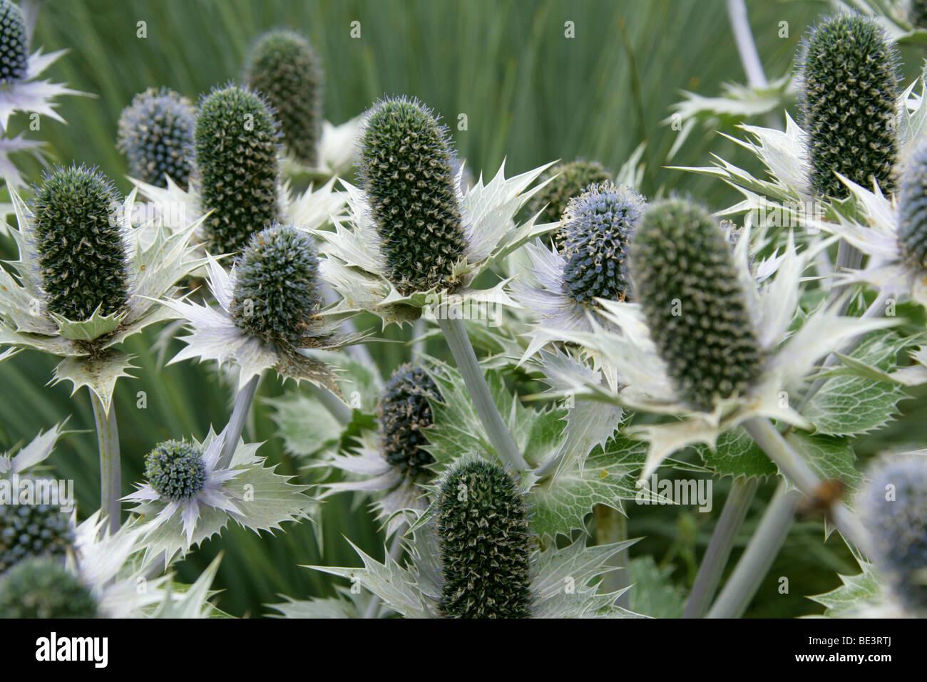 Giant Sea Holly, Eryngium giganteum 'Silver Ghost', Apiaceae - Stock Image