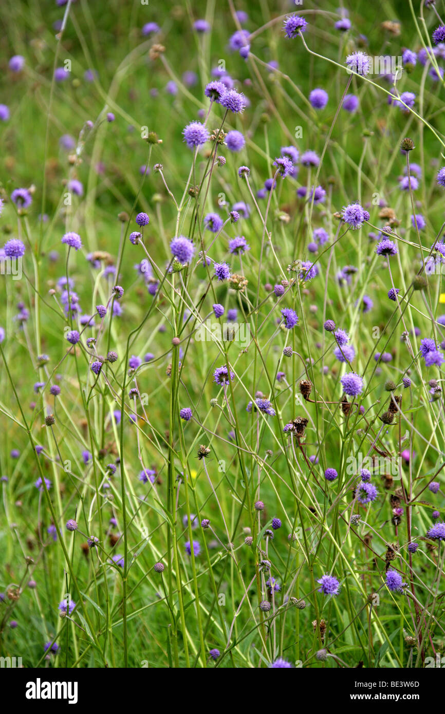 Devilsbit Scabious or Devil's-bit Scabious, Succisa pratensis, Dipsacaceae - Stock Image