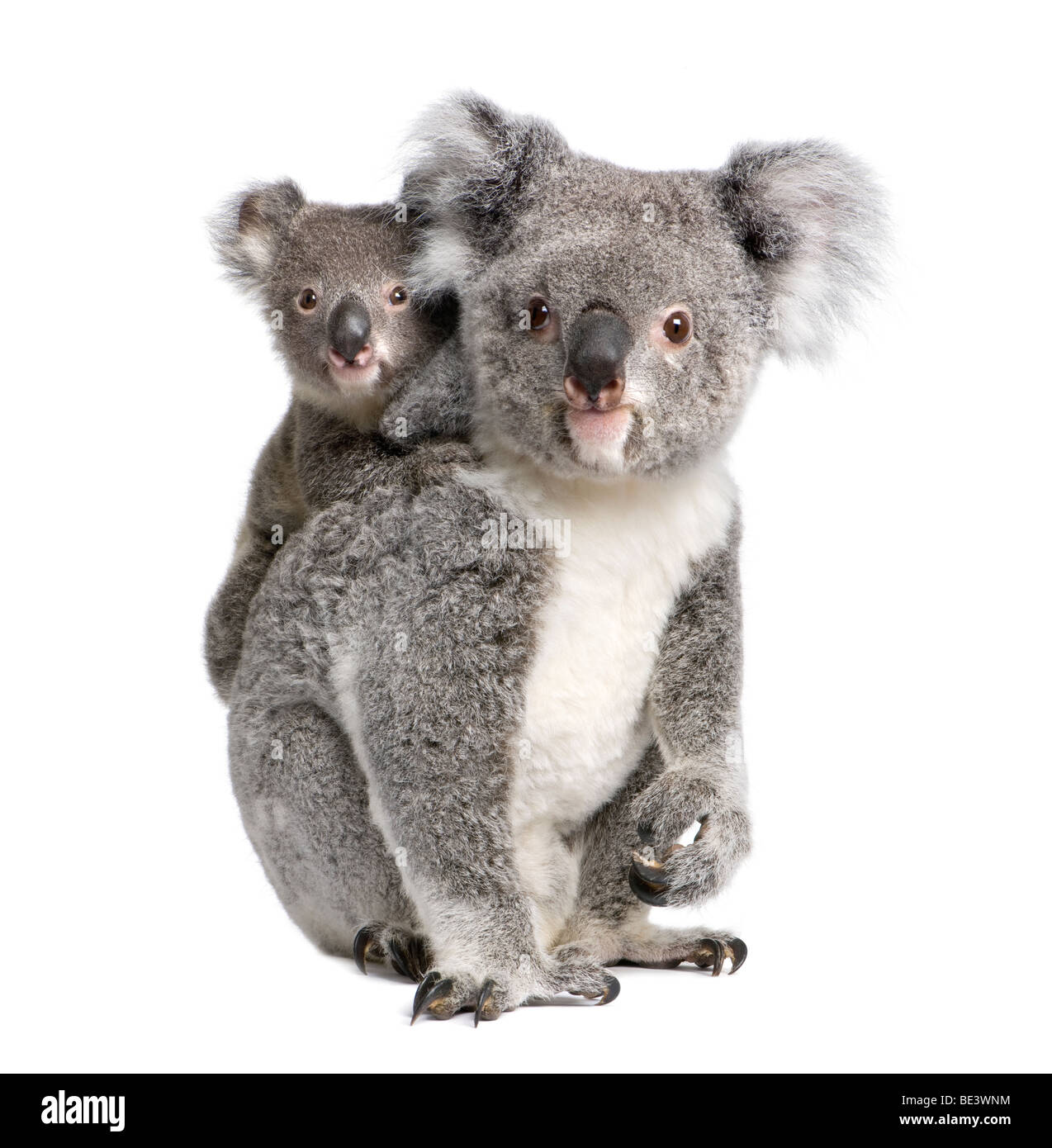 Portrait of Koala bears, 4 years old and 9 months old, Phascolarctos cinereus, in front of white background - Stock Image