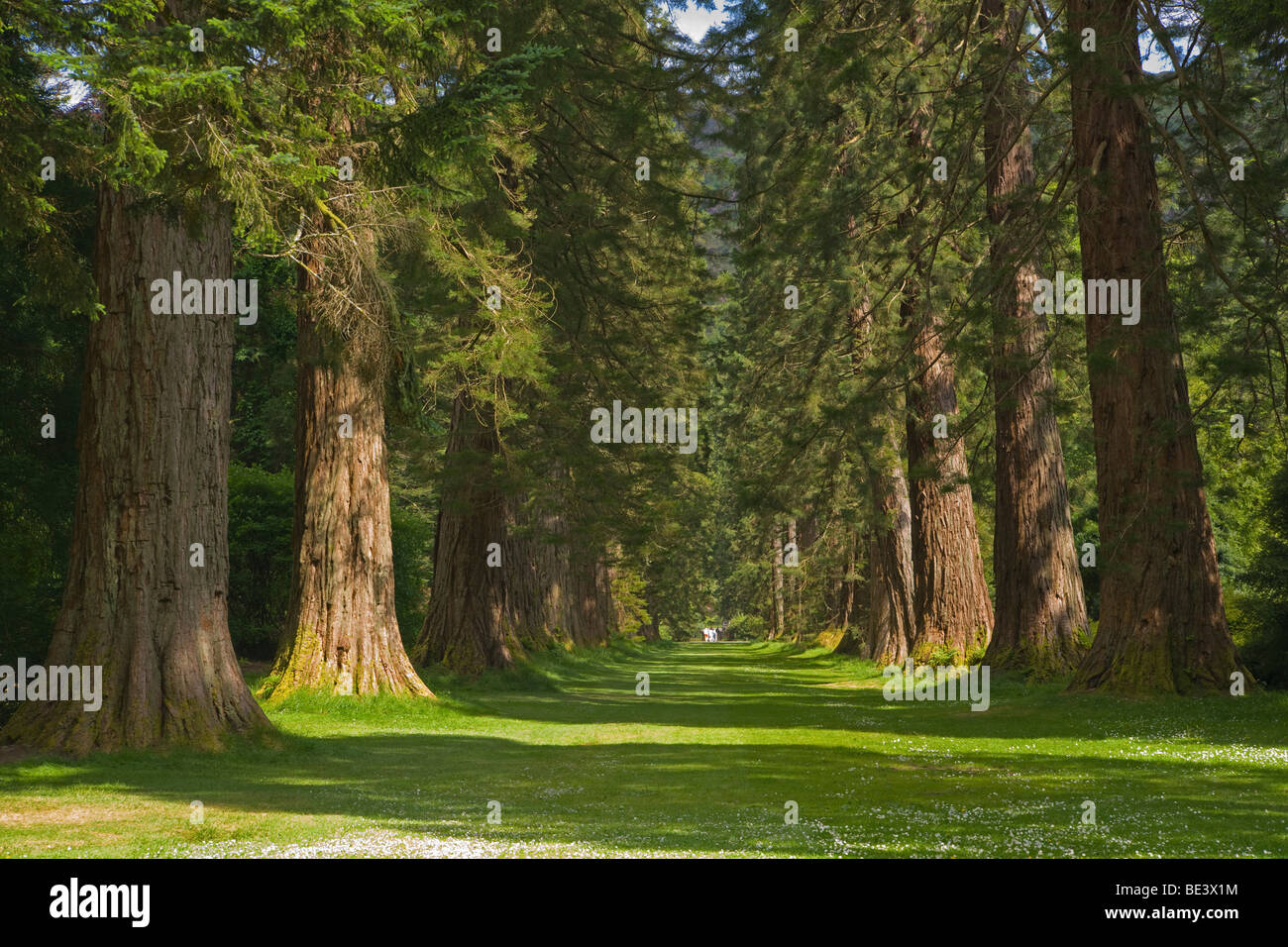 Redwood Avenue, Benmore Younger Botanic Garden, Argyl and Bute, Scotland. June, 2009 - Stock Image