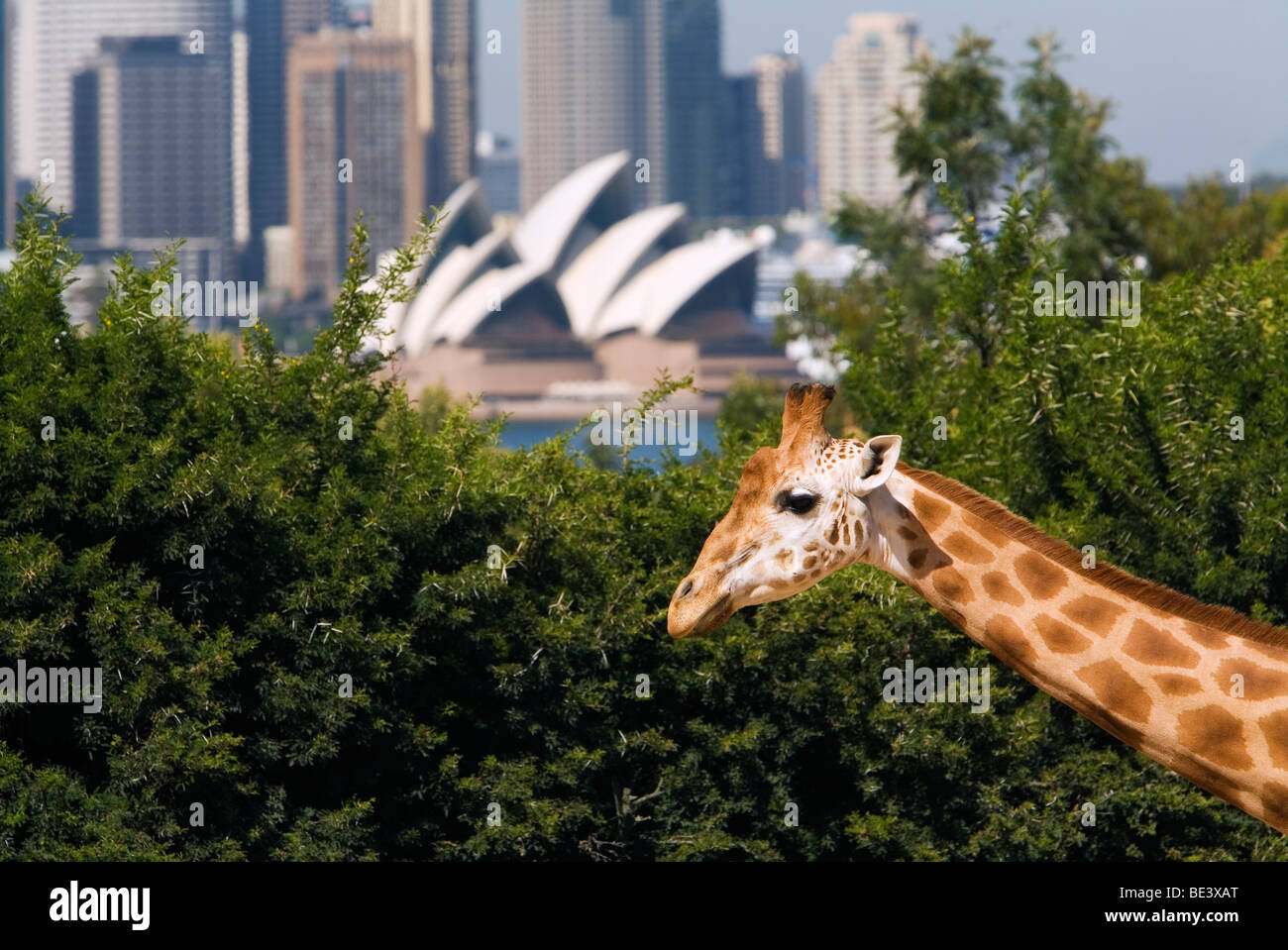Giraffe at Taronga Zoo with the Opera House and city skyline in the background. Mosman, Sydney, New South Wales, Stock Photo