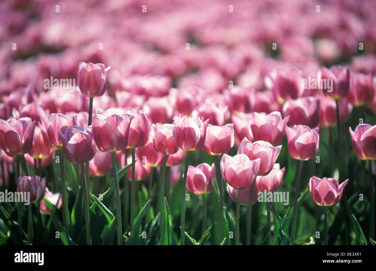 Pink tulip-field Stock Photo