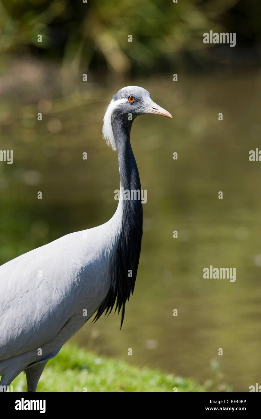 Demoiselle crane Stock Photo