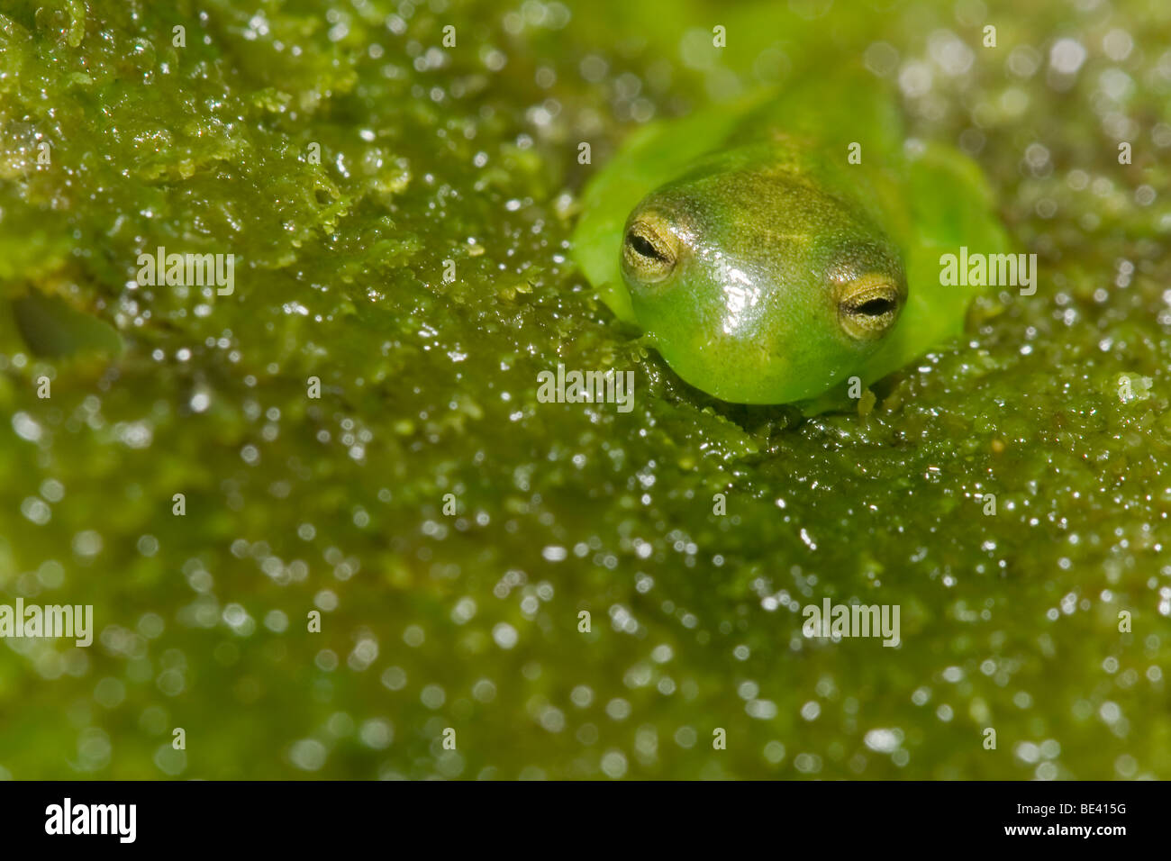 Spiny cochran glass frog cochranella spinosa glass frogs have spiny cochran glass frog cochranella spinosa glass frogs have translucent flesh that leaves their internal organs visible ccuart Gallery