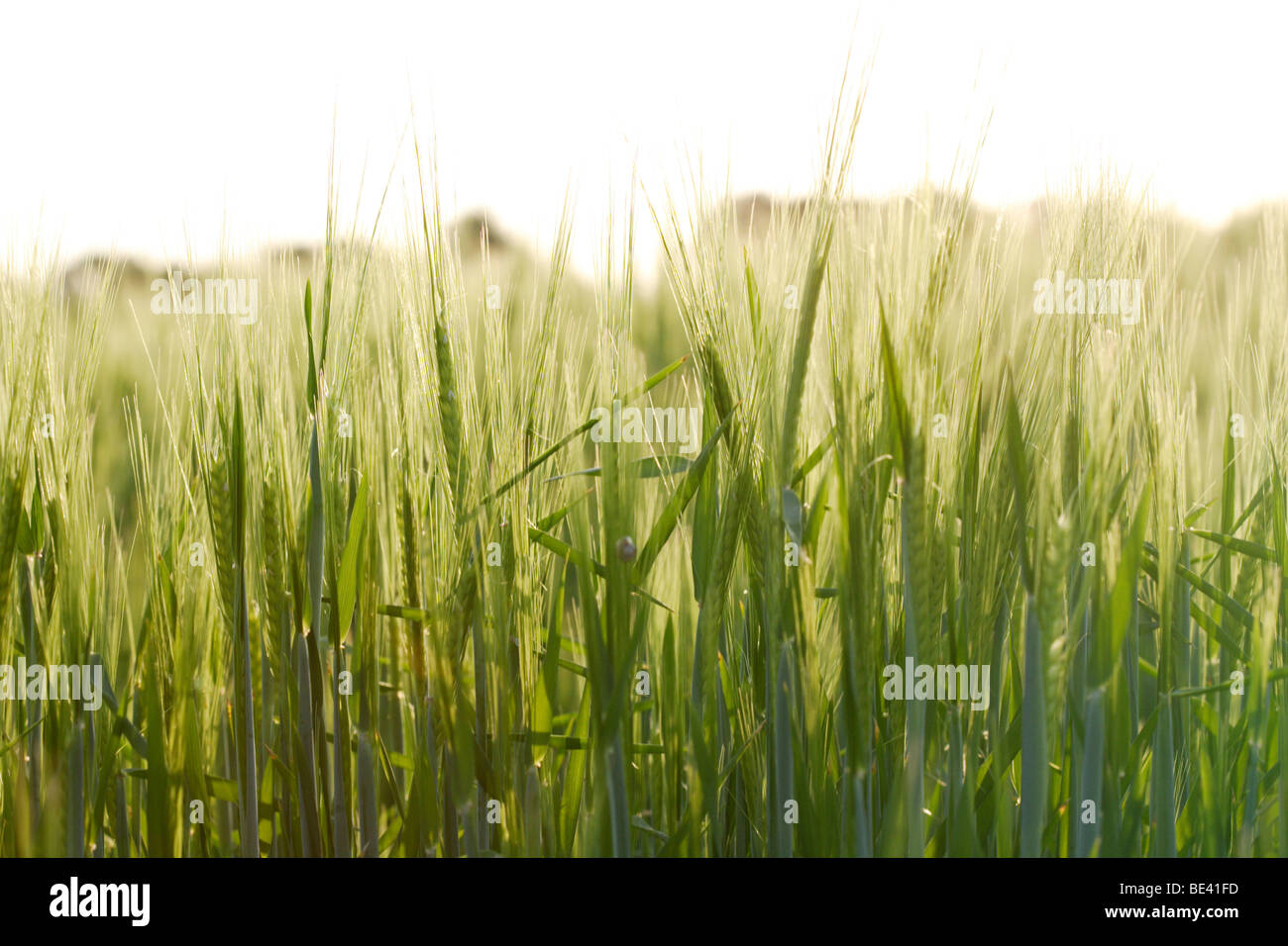 Ein Weizenfeld im Fruehjahr Stock Photo