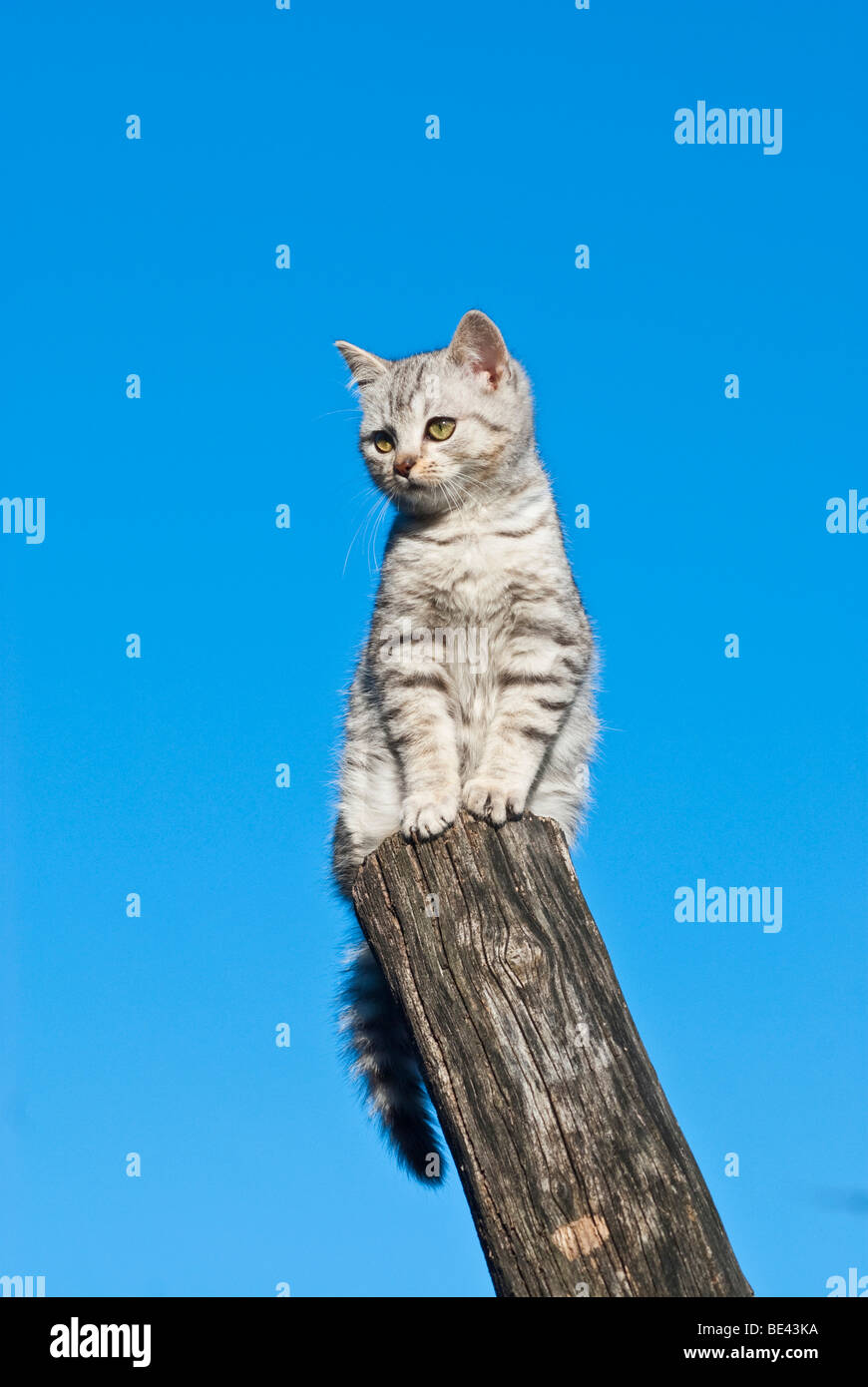 Domestic cat, 14 weeks, sitting on pole Stock Photo