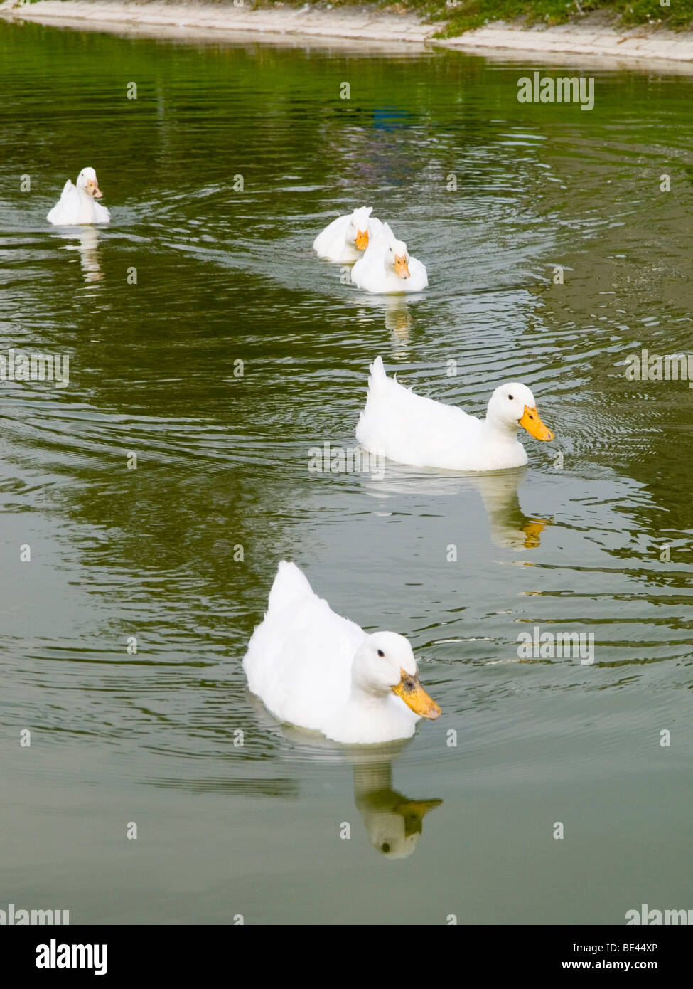 White ducks on the pond in Hartington Village, the Peak District Derbyshire England UK - Stock Image