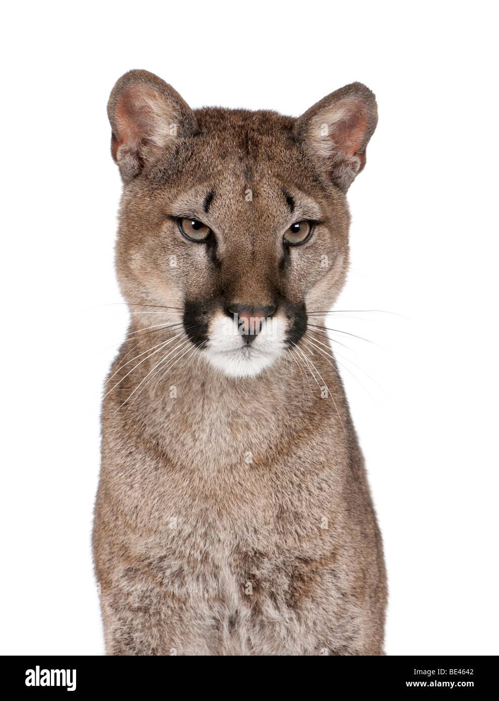 Portrait of Puma cub, Puma concolor, 1 year old, against white background, studio shot - Stock Image