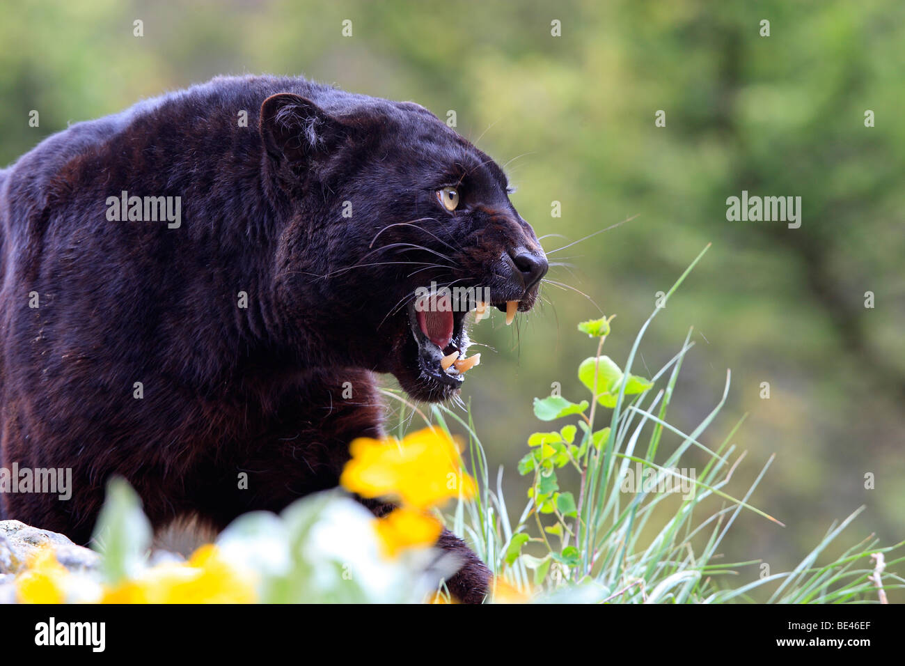 Black Panther (Panthera pardus). Black color phase of leopard, snarling - Stock Image