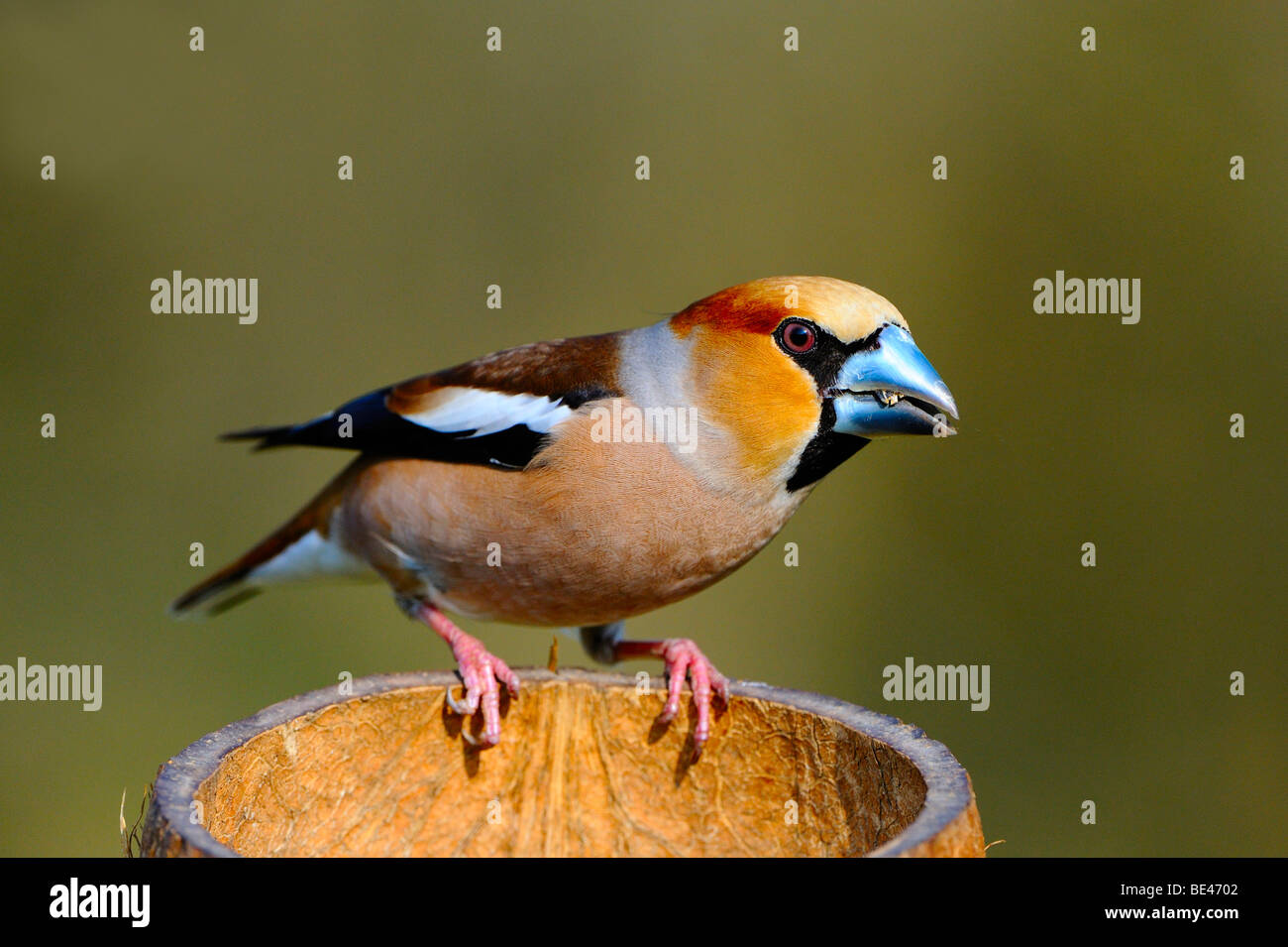 Hawfinch (Coccothraustes coccothraustes) at a feeding site Stock Photo