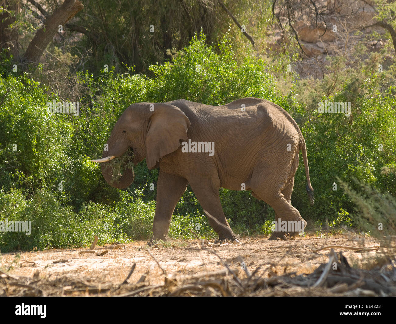 African Bush Elephant (Loxodonta africana) in the valley of the River Ugab at Brandenberg mountain, Namibia, Africa Stock Photo