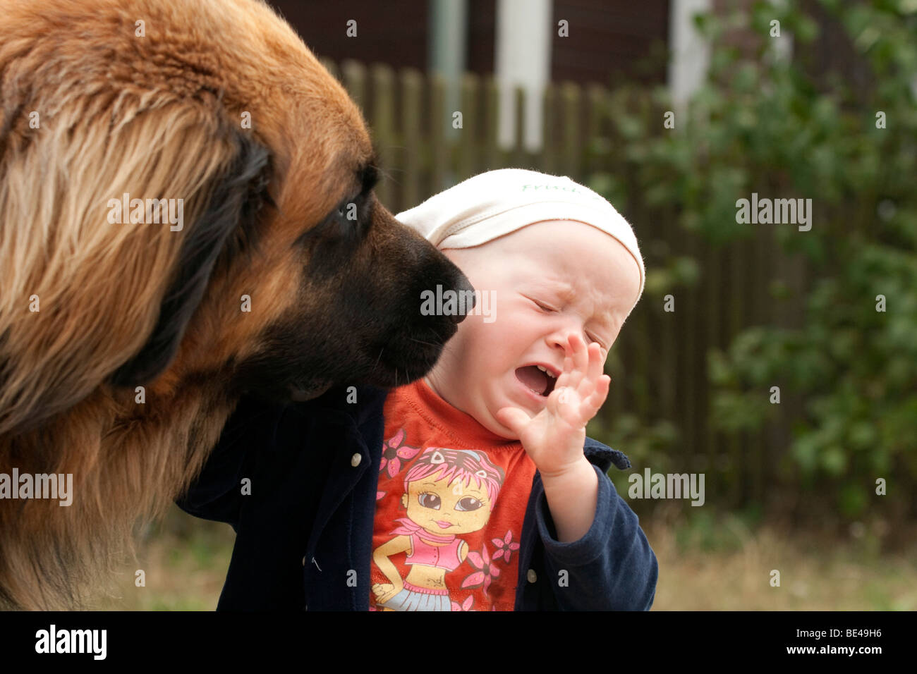 Leonberger sniffing an infant, 1, in the face - Stock Image