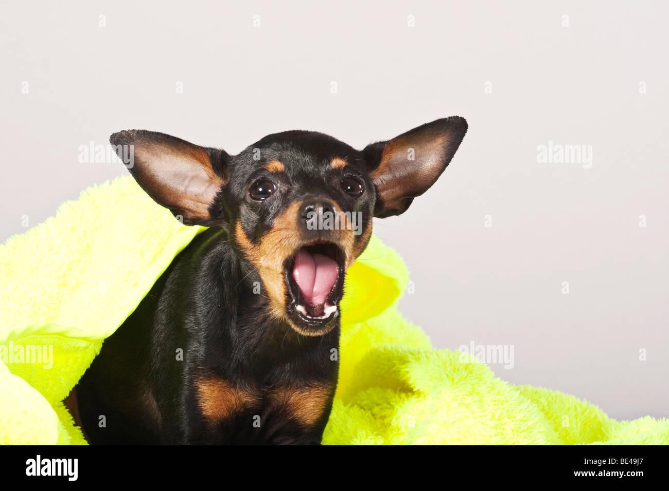 Prague Ratter, yawning - Stock Image