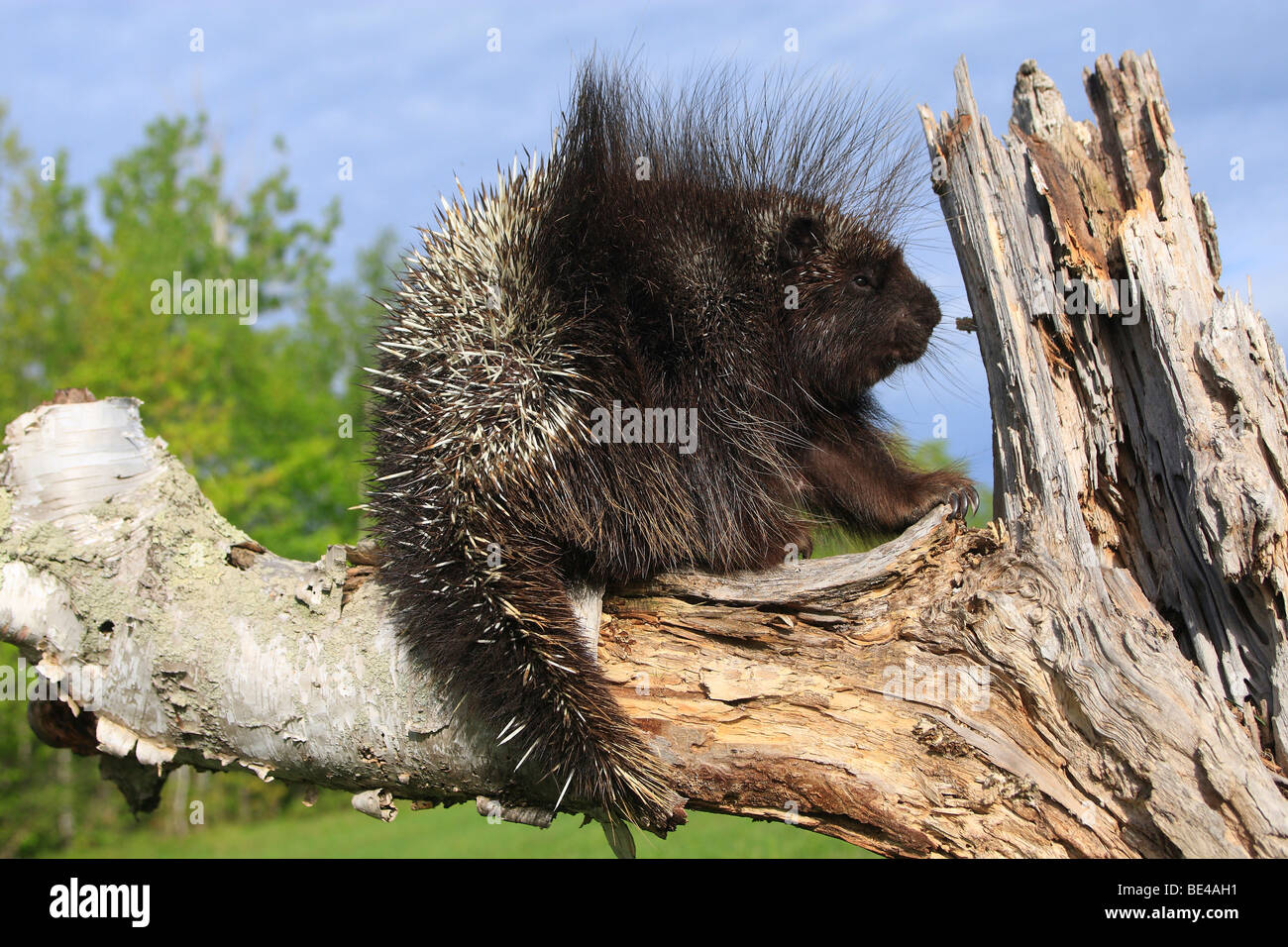 New World Porcupine, North American Porcupine (Erethizon dorsatum) on a dead tree. - Stock Image
