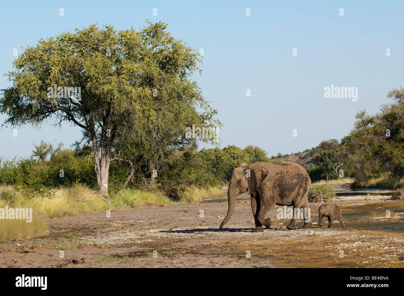 African elephant ( Loxodonta africana africana), Tuli Block, Botswana - Stock Image