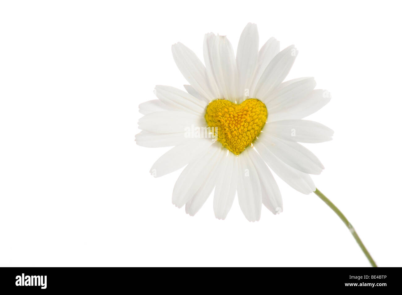 Daisy (Leucanthemum) with disc flowers in heart shape - Stock Image