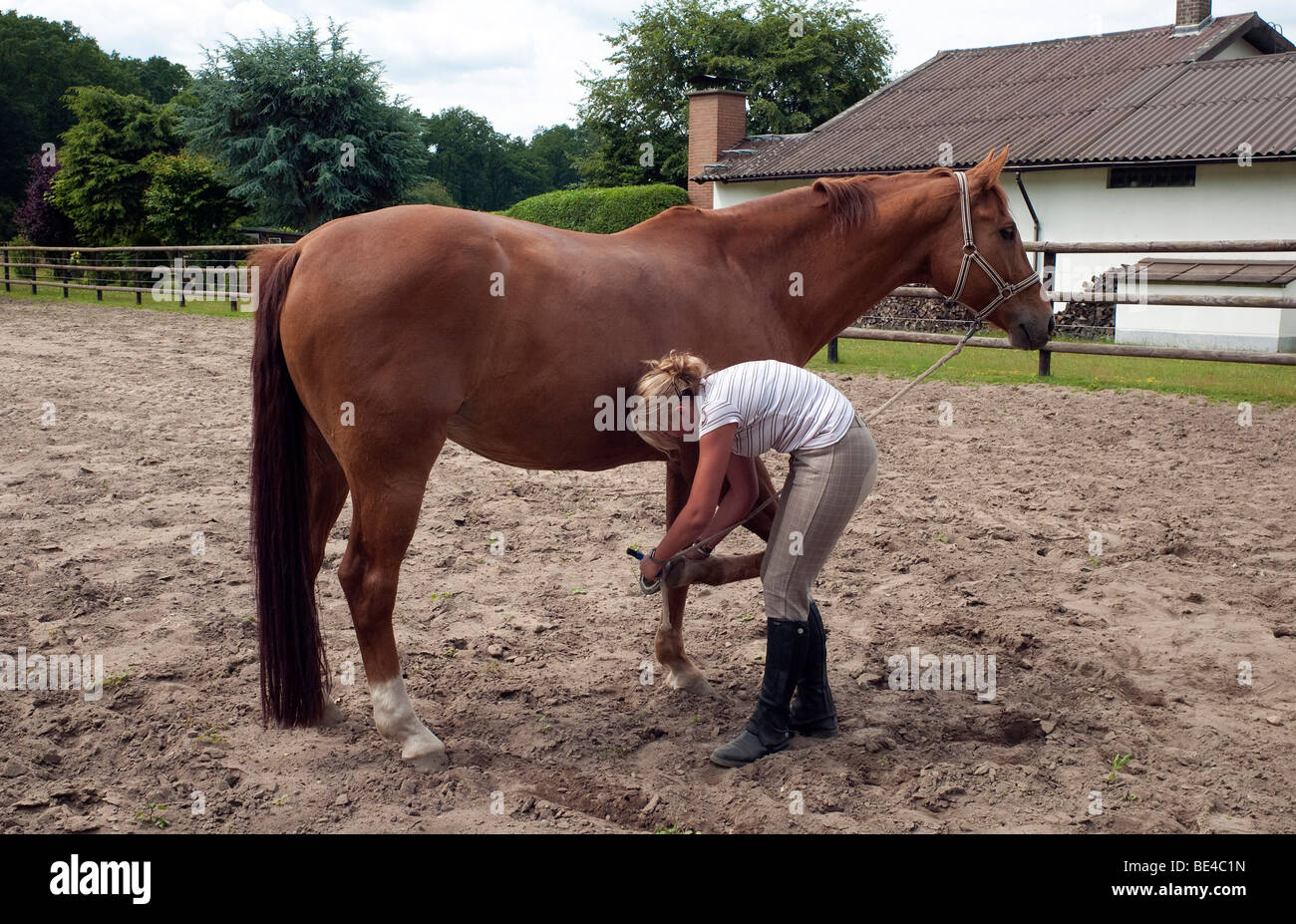 Teenage girl cleaning the hooves of a horse - Stock Image