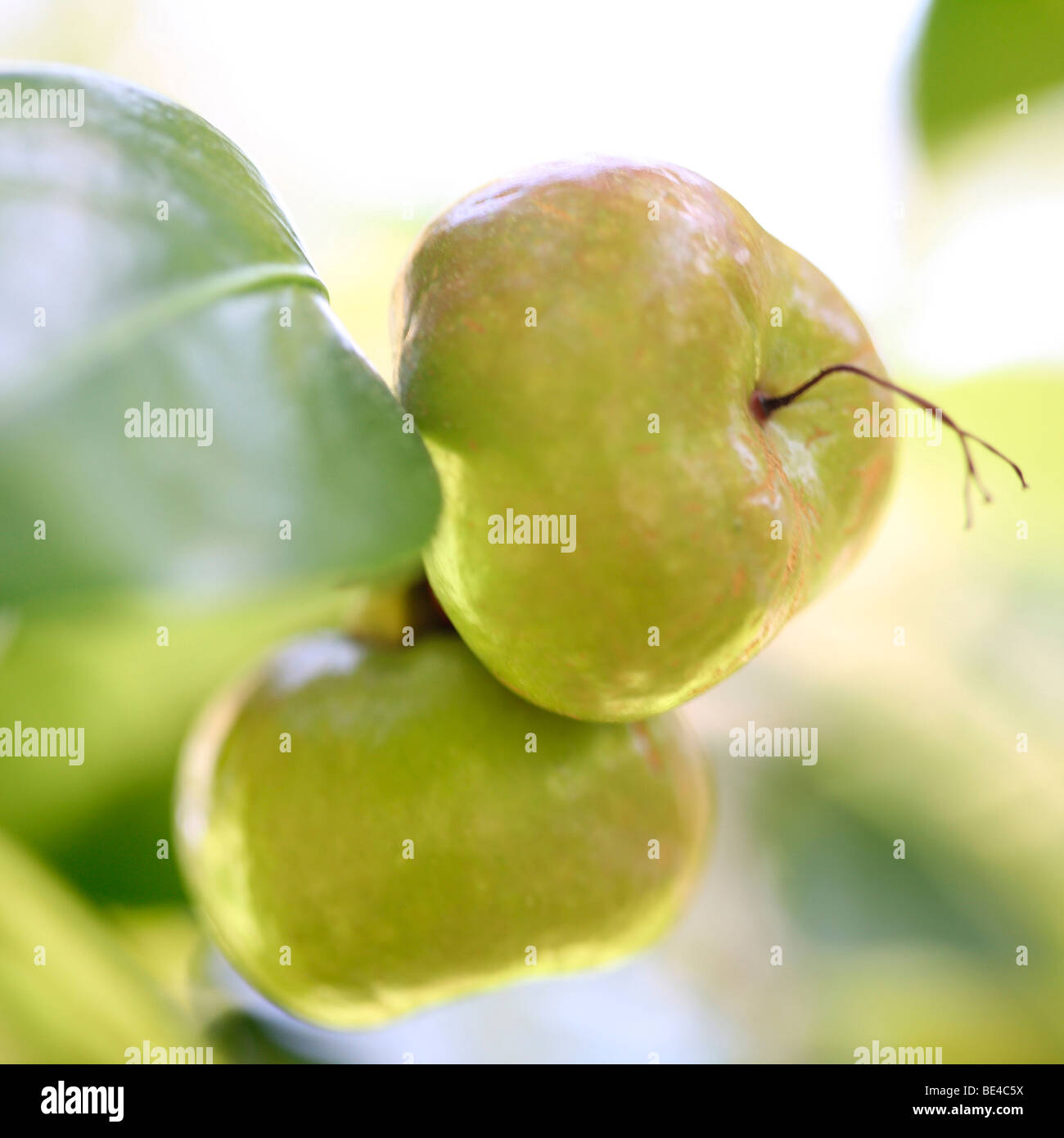 Camellia Japonica Adolphe Audusson Summer to Autumn Season Change - fine art photography Jane-Ann Butler Photography - Stock Image