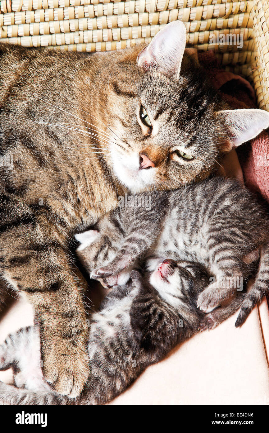 Cat with kittens, 5 days old - Stock Image