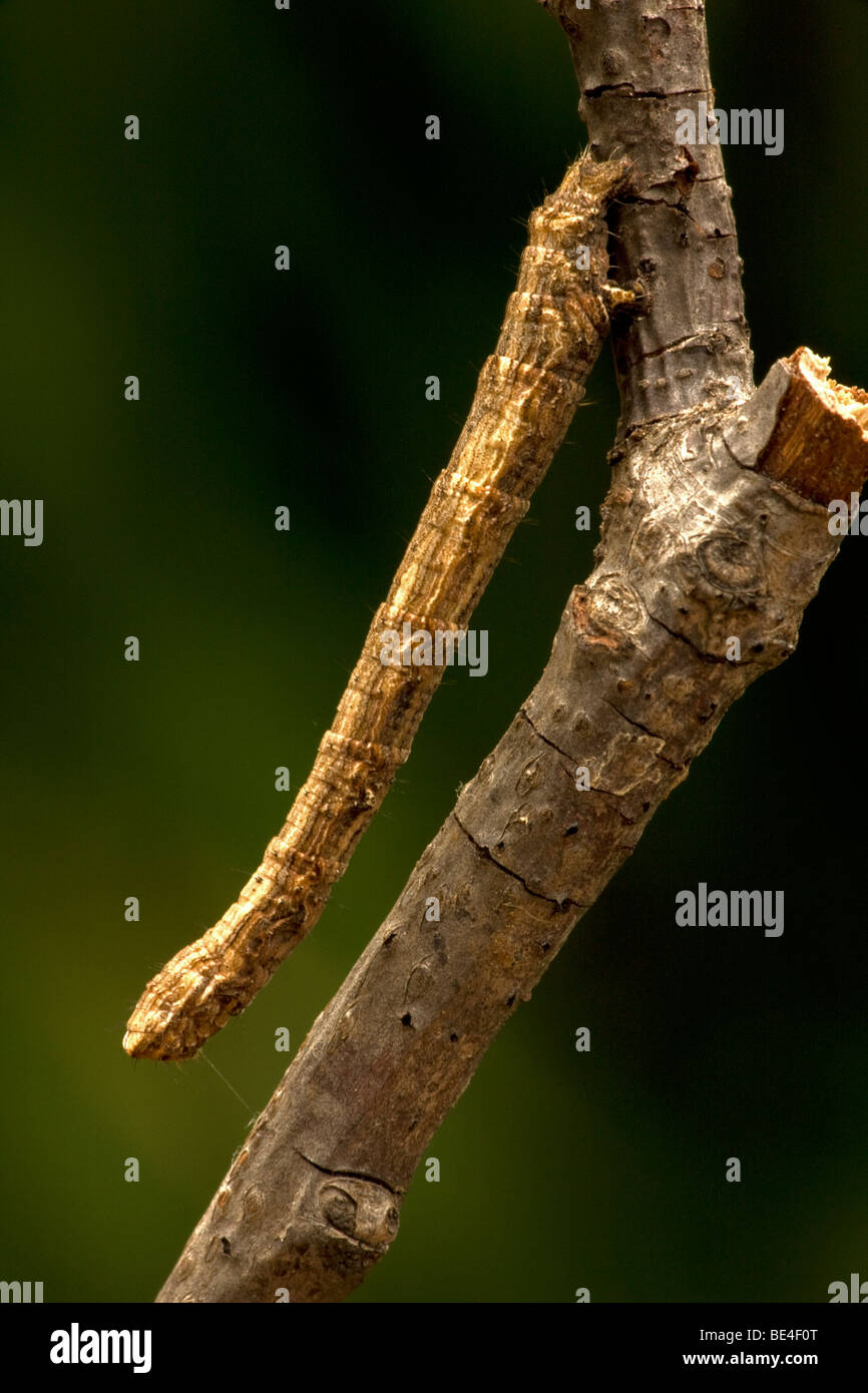 Geometrid Moth Larva - Common Name Inchworm - Oregon - USA - Family Geometridae - Looks like twig - Stock Image