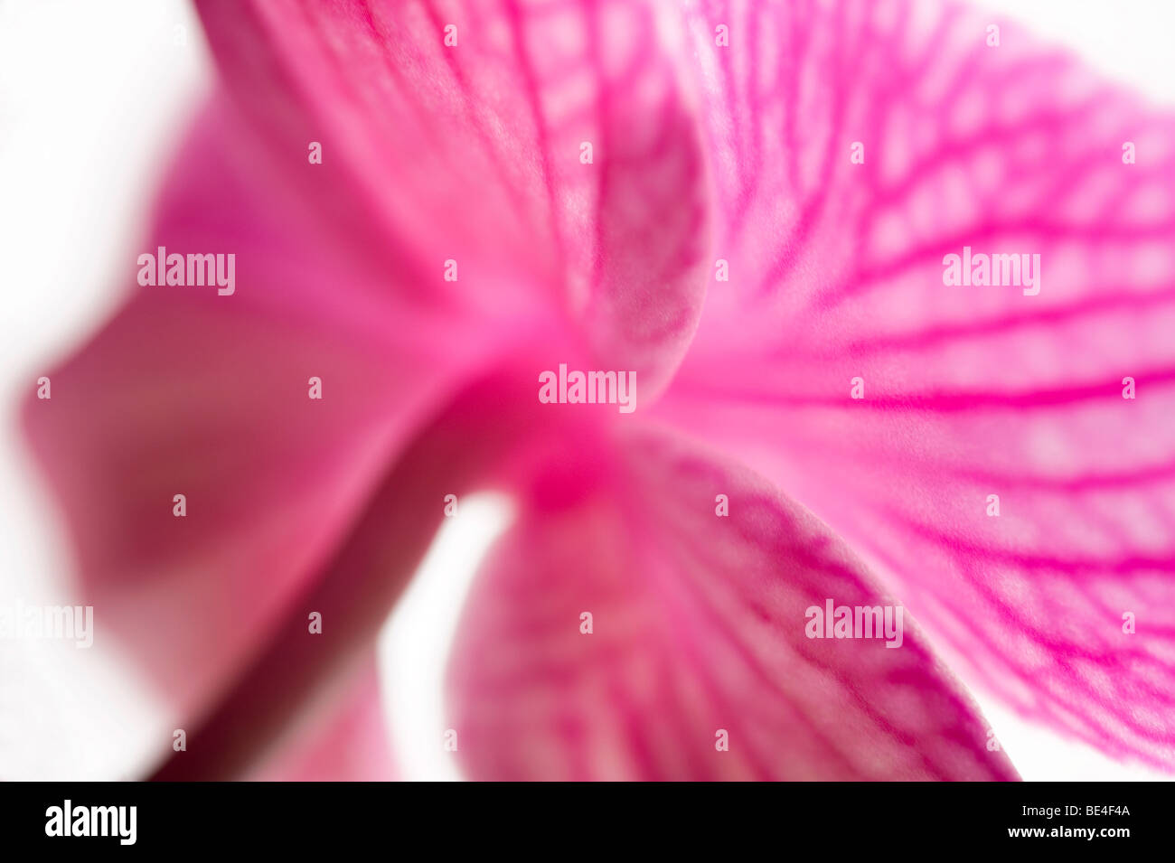 pink butterfly orchid flower - Stock Image