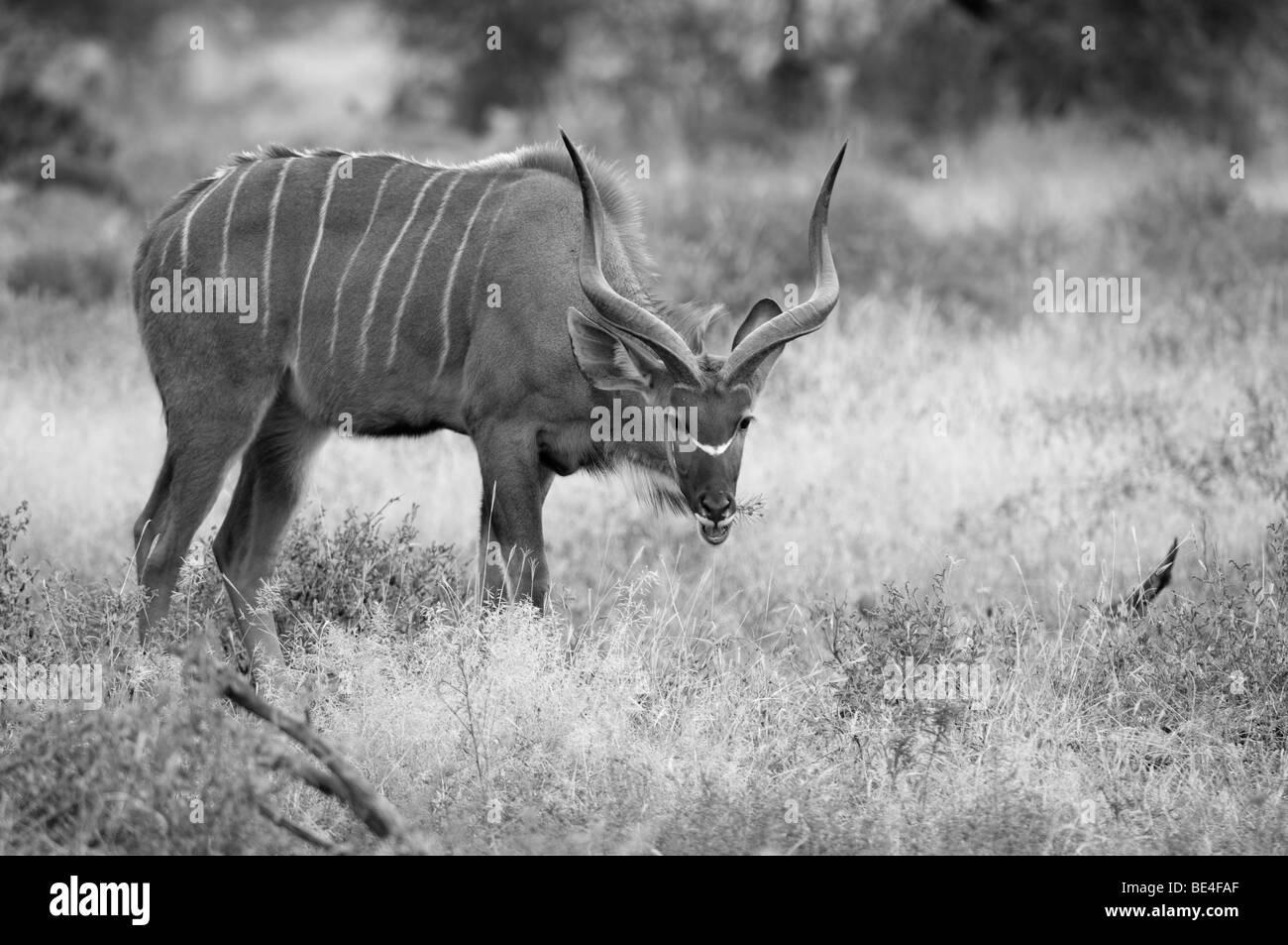 Greater kudu (Tragelaphus strepsiceros), Tuli Block, Botswana - Stock Image