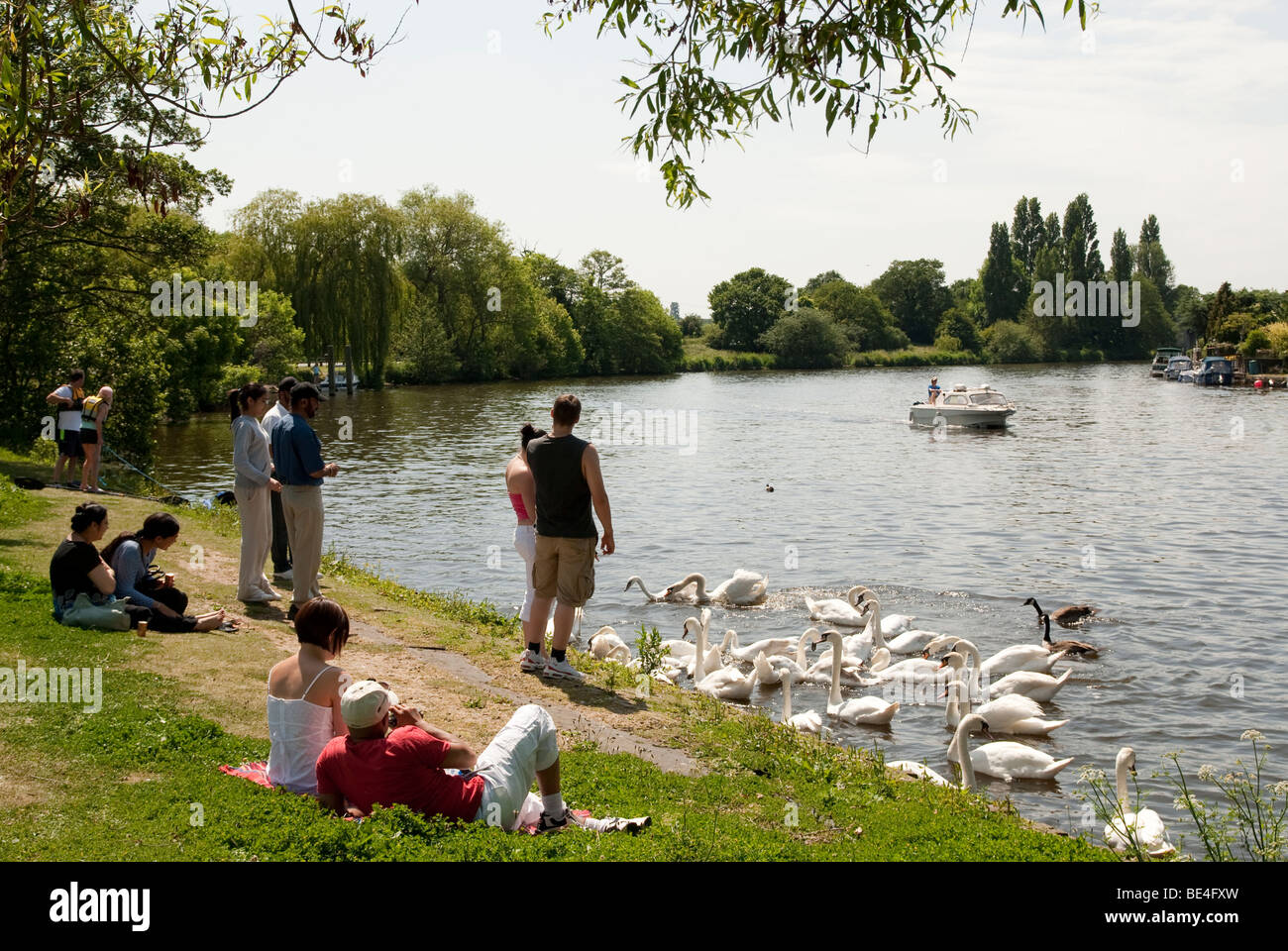 Adults lazing on the riverbank and feeding the swans on the Thames at Walton on Thames with a Motor Crusier on the - Stock Image