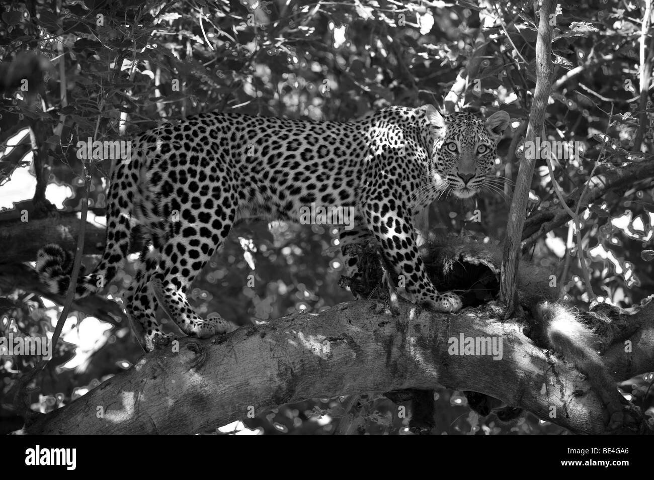 Leopard (Panthera pardus), Tuli Block, Botswana - Stock Image