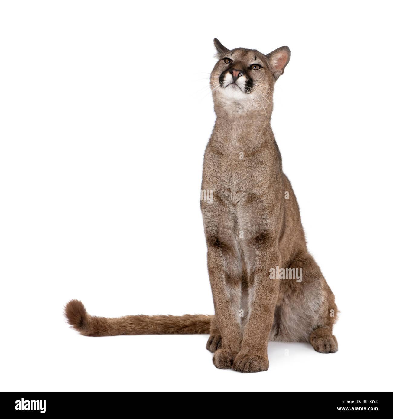 Portrait of Puma cub, Puma concolor, 1 year old, sitting against white background, studio shot - Stock Image