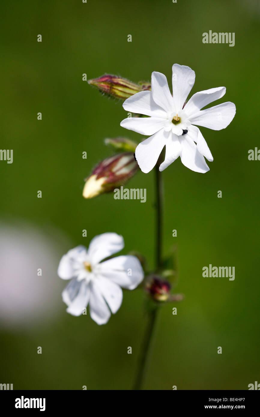 White Champion (Silene latifolia ssp. alba) - Stock Image
