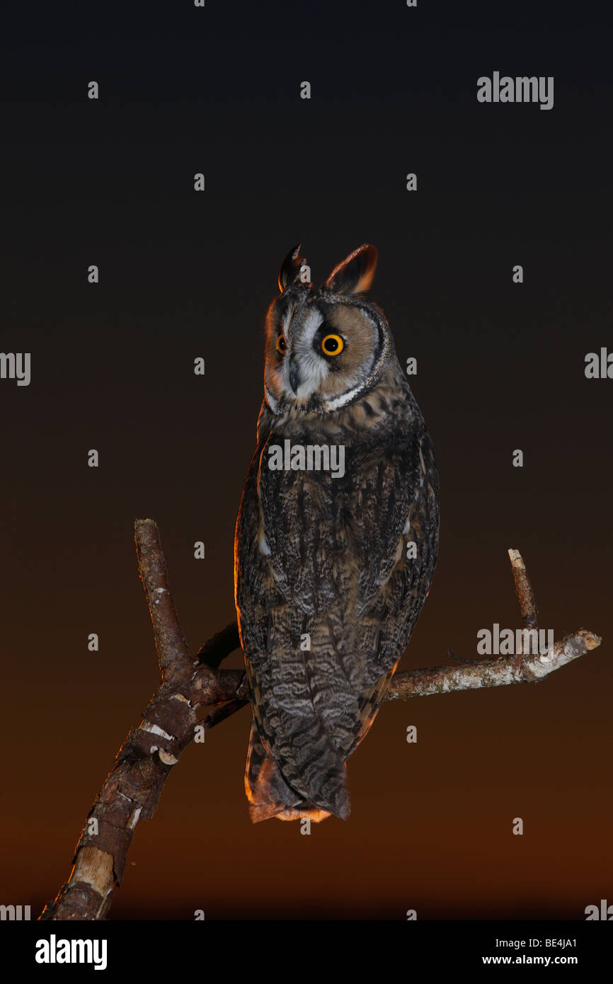 Long Eared Owl Asio otus at Sunset - Stock Image