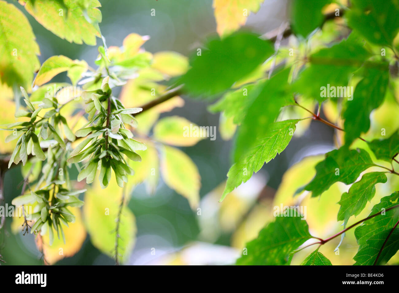 Vine Leaved Maple Acer Cissifolium Summer to Autumn Season Change - fine art photography Jane-Ann Butler Photography - Stock Image