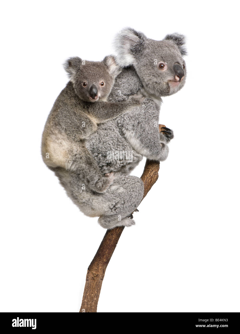 Koala bears climbing tree, 4 years old and 9 months old, Phascolarctos cinereus, in front of white background - Stock Image