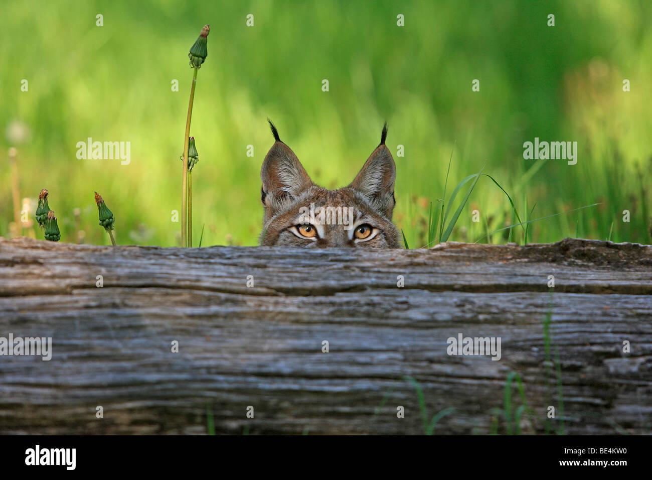 European Lynx (Felis lynx, Lynx lynx) peering over a fallen tree. - Stock Image