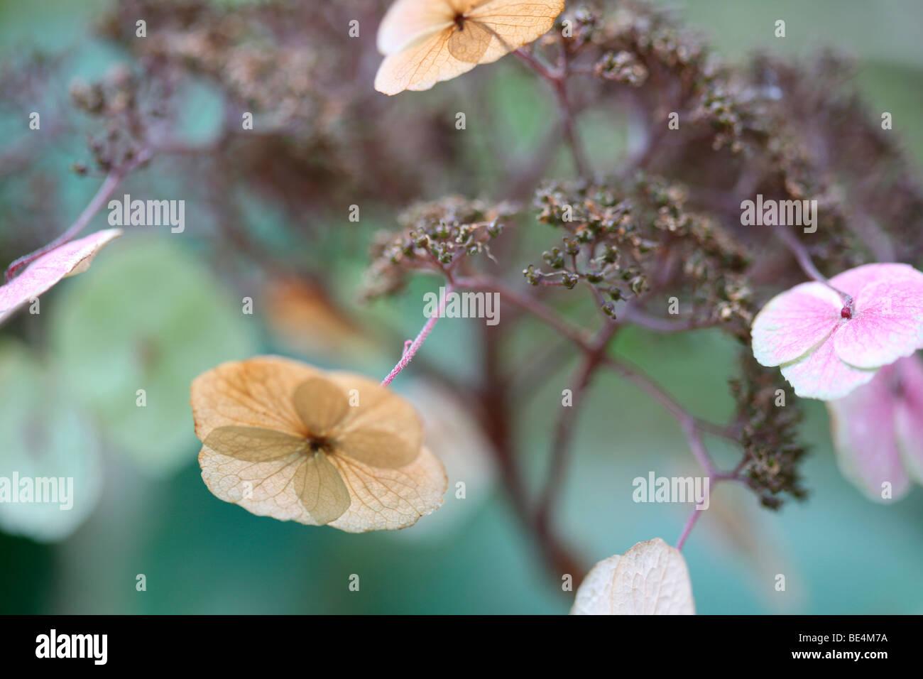 Delightful Flowering Wild Hydrangea Sargentiana Rustic Plant-fine art photography Jane-Ann Butler Photography JABP606 - Stock Image