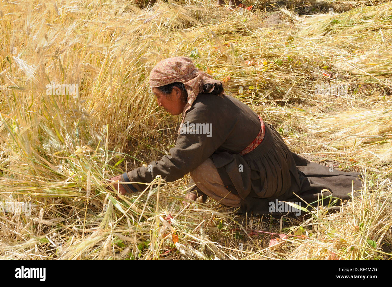 Ladakhi woman harvesting barley with a sickle, Chemre, Ladakh, India, Himalayas, Asia - Stock Image