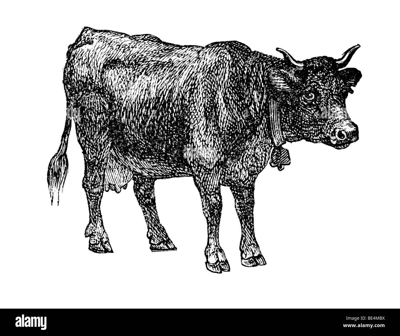 Simmenthaler cattle, historical illustration from: Marie Adenfeller, Friedrich Werner: Illustriertes Koch- und Haushaltungsbuch - Stock Image