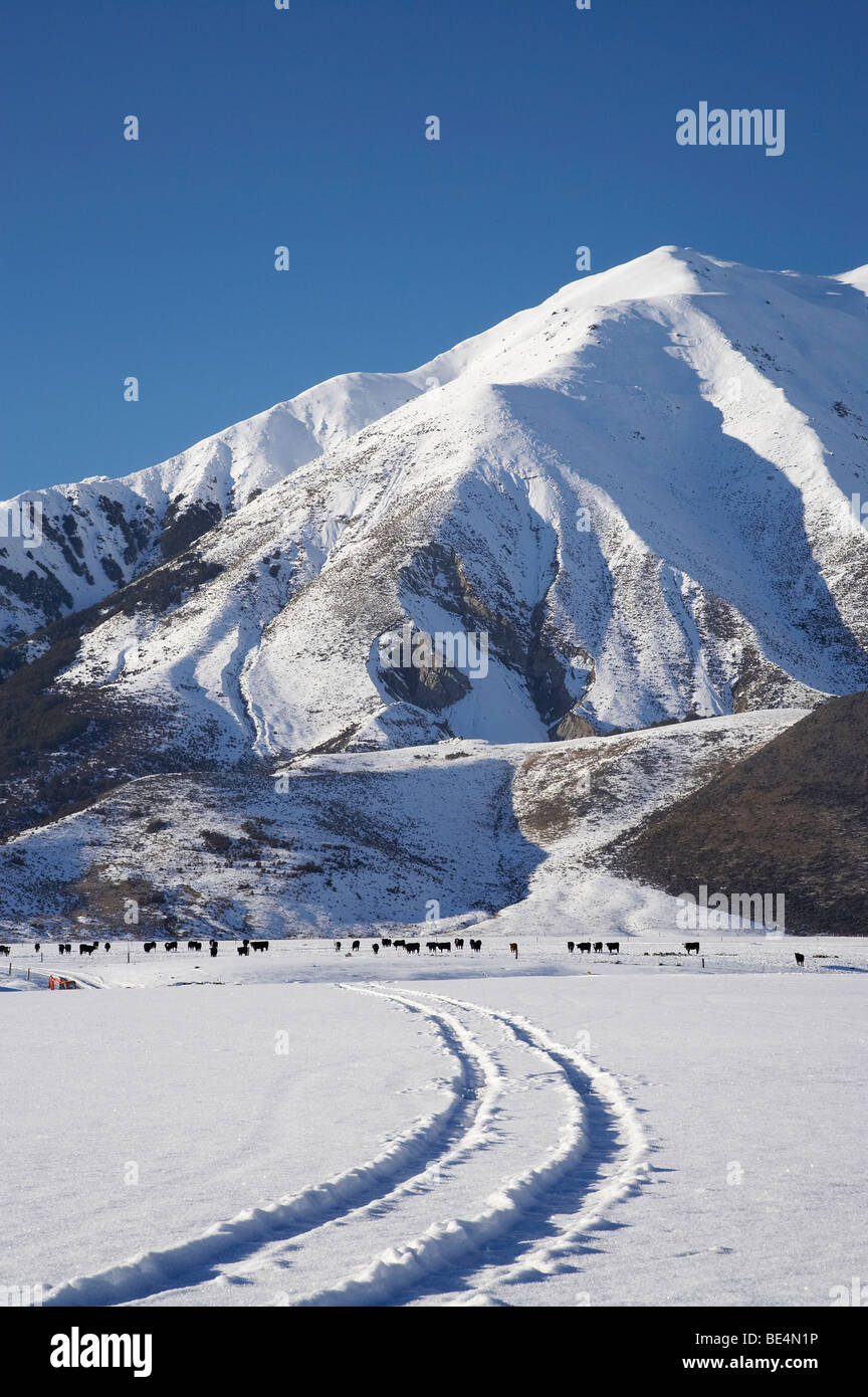Tracks Through Snow, Cows, and Torlesse Range, Castle Hill, Arthur's Pass Road, Canterbury, South Island, New - Stock Image