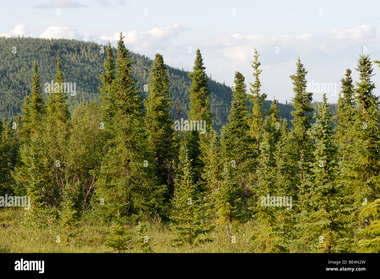 Black spruce, Picea mariana, forest.  Boreal forest, taiga. Stock Photo