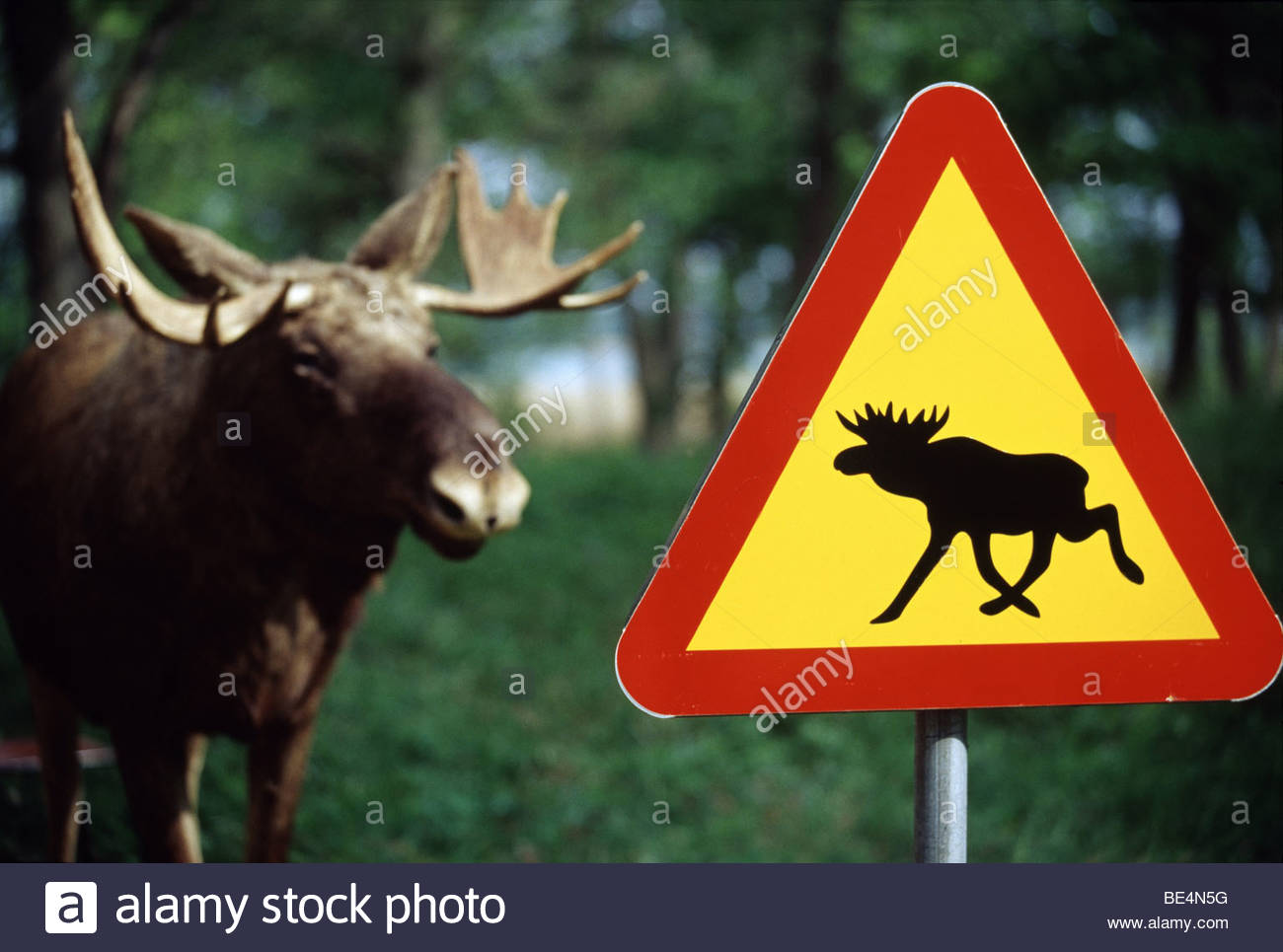 Close-up of a moose crossing sign with a moose in the background, Sweden Stock Photo