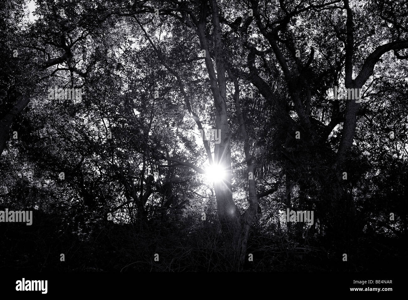 The sun bursting through trees silhouetted against the sky in 'Pasadena,' California.' - Stock Image