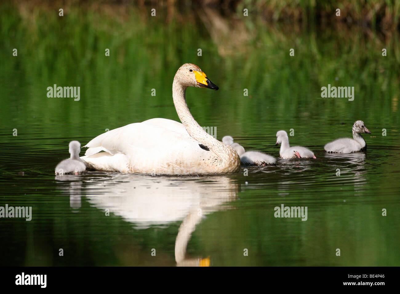 Whooper Swan (Cygnus cygnus) with chicks, Lapland, Finland, Europe Stock Photo