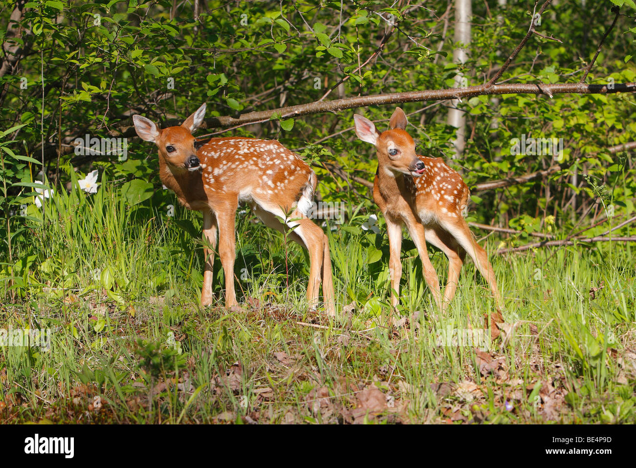 White-tailed Deer (Odocoileus virginianus). Two fawns on a clearing. Stock Photo