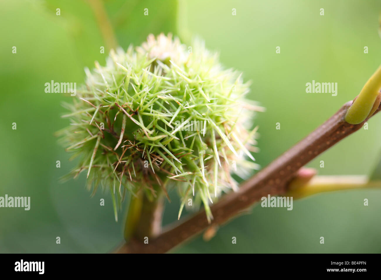 Henry's Chestnut Castanea Henryi Summer to Autumn - fine art photography Jane-Ann Butler Photography JABP593 - Stock Image